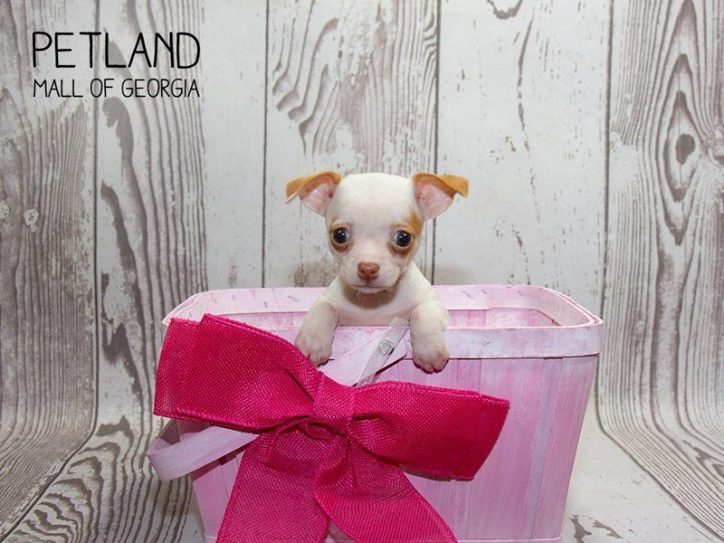 Chihuahua-Female-fawn white-2340050-Petland Mall of Georgia