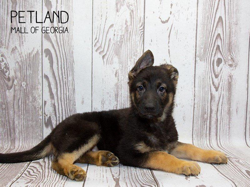 German Shepherd-Male-Black and Tan-2340067-Petland Mall of Georgia