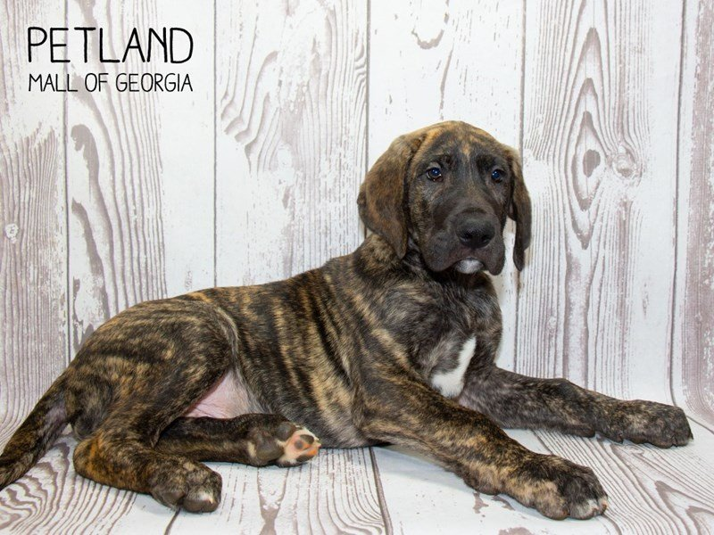 Great Dane-Male-Brindle-2340142-Petland Mall of Georgia