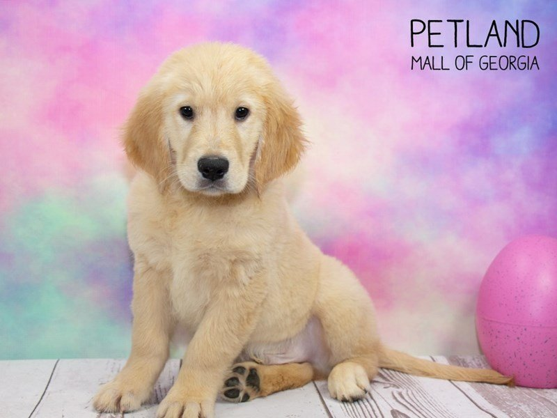 Golden Retriever-Male-Golden-2324411-Petland Mall of Georgia