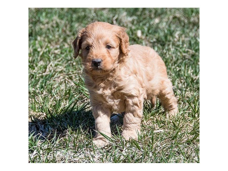 Miniature Goldendoodle 2nd Gen-Male-Red-2346614-Petland Mall of Georgia
