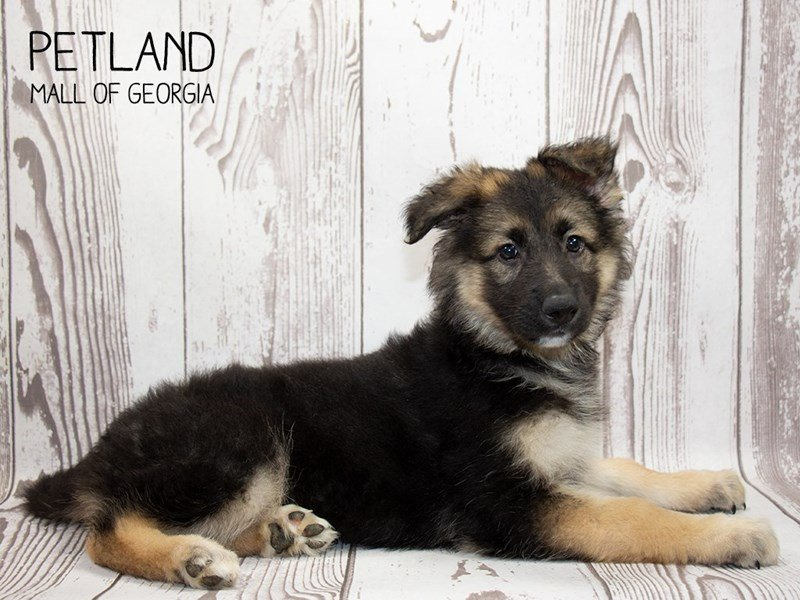 German Shepherd-Female-Black and Tan-2340069-Petland Mall of Georgia