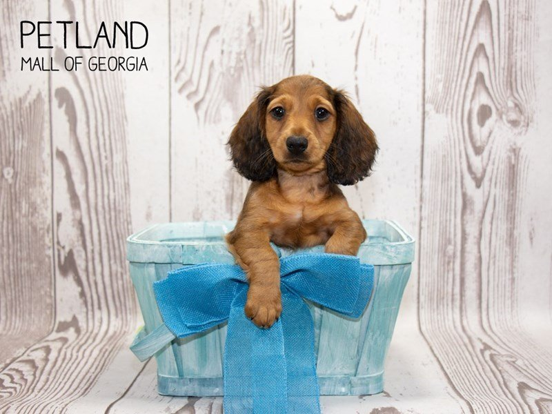 Dachshund-Male-Wild Boar-2346605-Petland Mall of Georgia