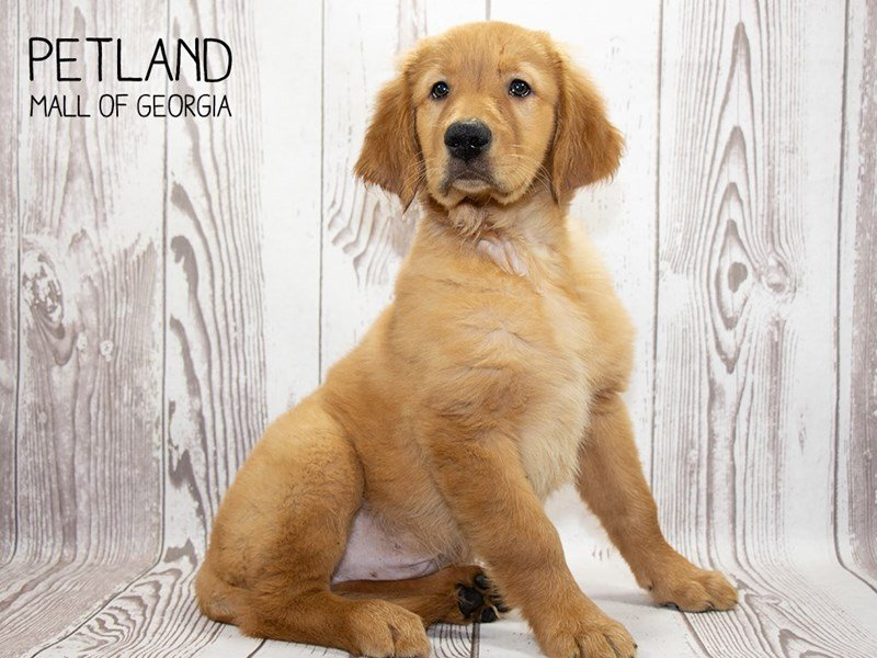 Golden Retriever-Male-Red-2346584-Petland Mall of Georgia