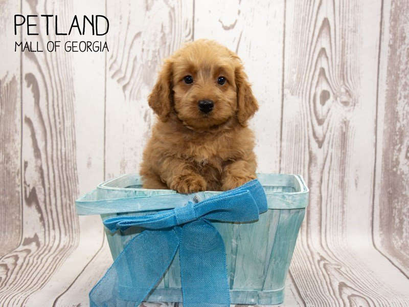 Miniature Goldendoodle 2nd Gen-Male-Red-2341888-Petland Mall of Georgia