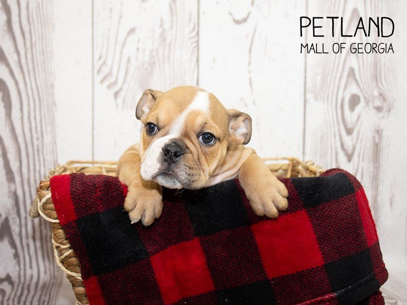 English Bulldog-Male-Brown White-2351066-Petland Mall of Georgia