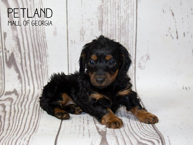 Dachshund-Female-black tan-2351077-Petland Mall of Georgia