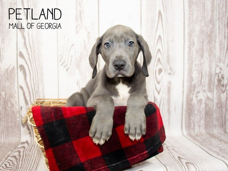 Great Dane-Male-Gray-2350943-Petland Mall of Georgia