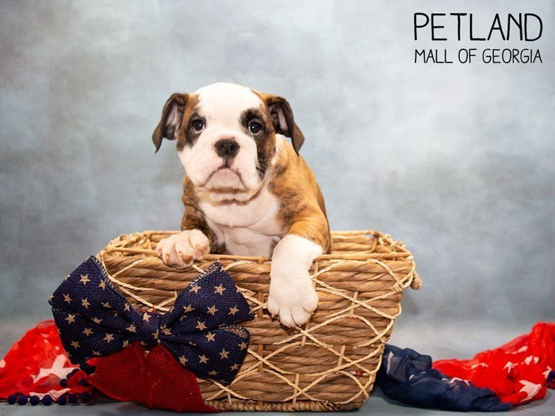 Victorian Bulldog-Female-Brindle / White-2357002-Petland Mall of Georgia