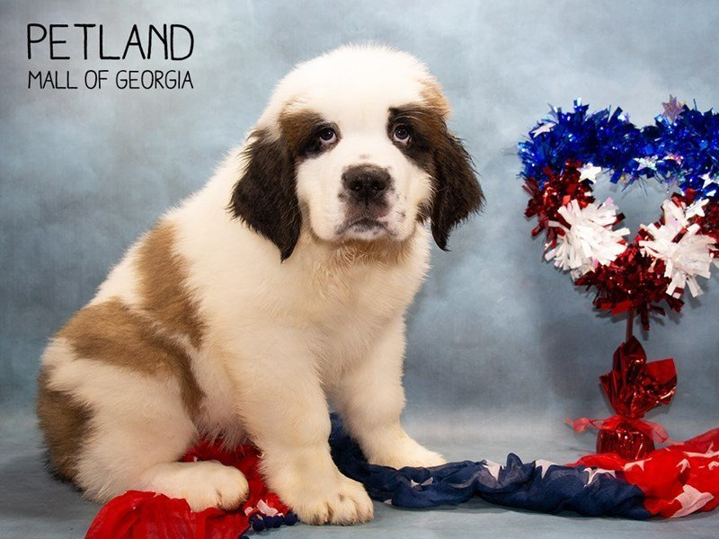 Saint Bernard-Male-Sable / White-2356961-Petland Mall of Georgia