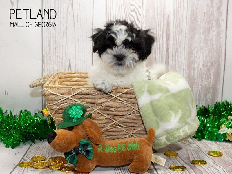Cavachon-Male-Black / White-2291961-Petland Mall of Georgia