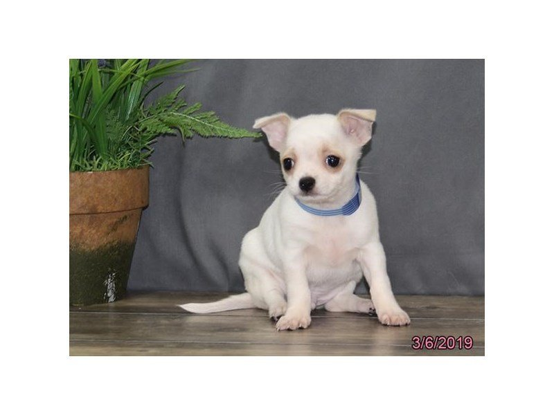 Chihuahua-DOG-Male-White-2303091-Petland Mall of Georgia
