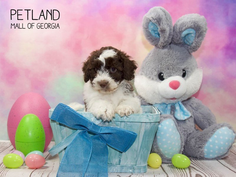 Havanese-Male-Choc white-2329930-Petland Mall of Georgia