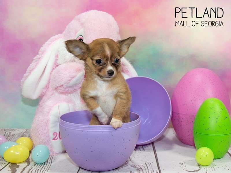 Chihuahua-Female-Fawn White-2335284-Petland Mall of Georgia