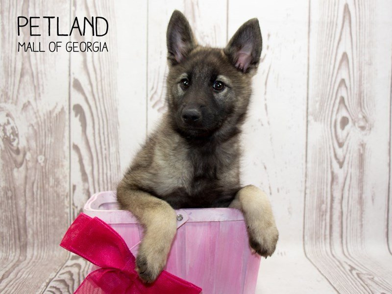 Norwegian Elkhound-Female-Gray Black / Silver-2335480-Petland Mall of Georgia