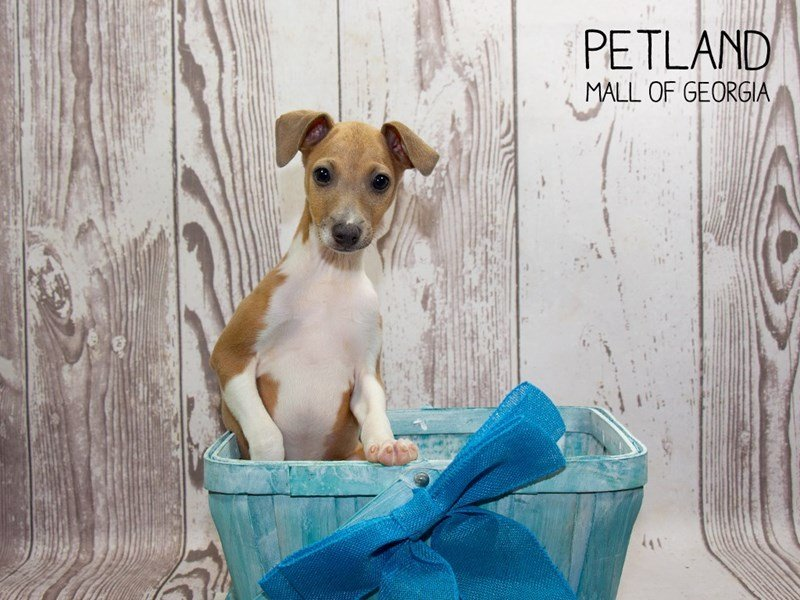 Italian Greyhound-Male-Blue Fawn-2335450-Petland Mall of Georgia