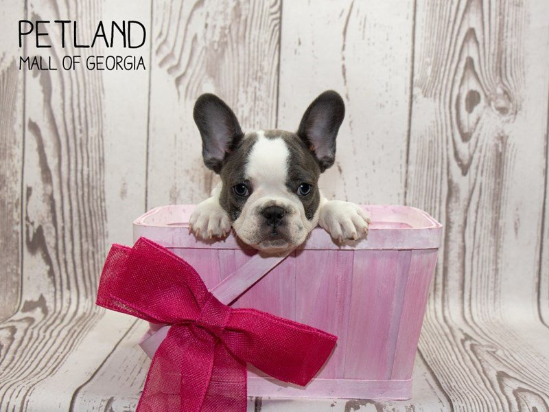 French Bulldog-Female-Blue Pied-2347801-Petland Mall of Georgia