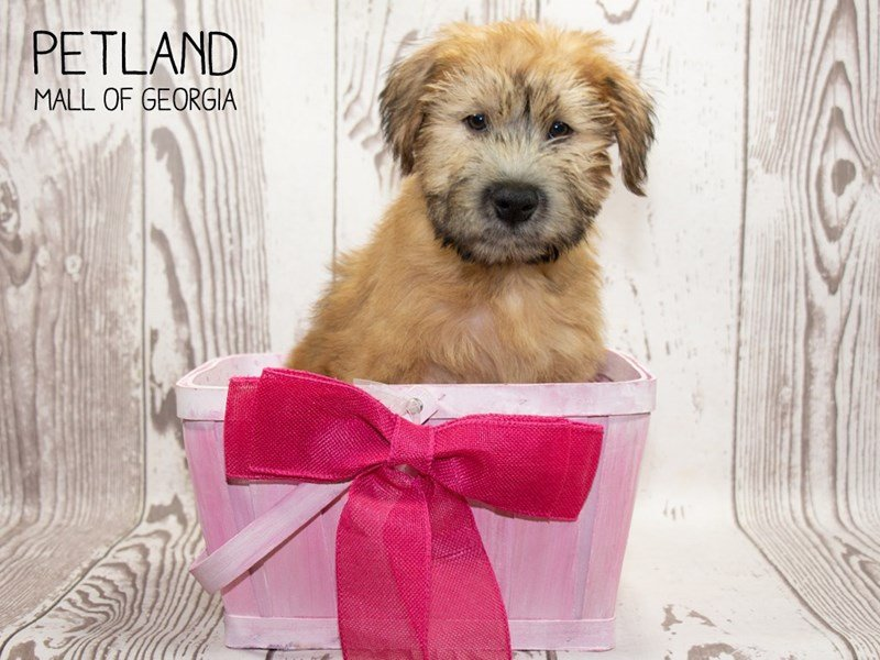 Soft Coated Wheaten Terrier-Female-Wheaten-2346589-Petland Mall of Georgia