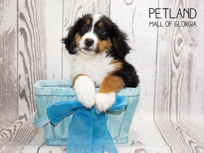 Bernese Mountain Dog-Male-Tri-2329621-Petland Mall of Georgia