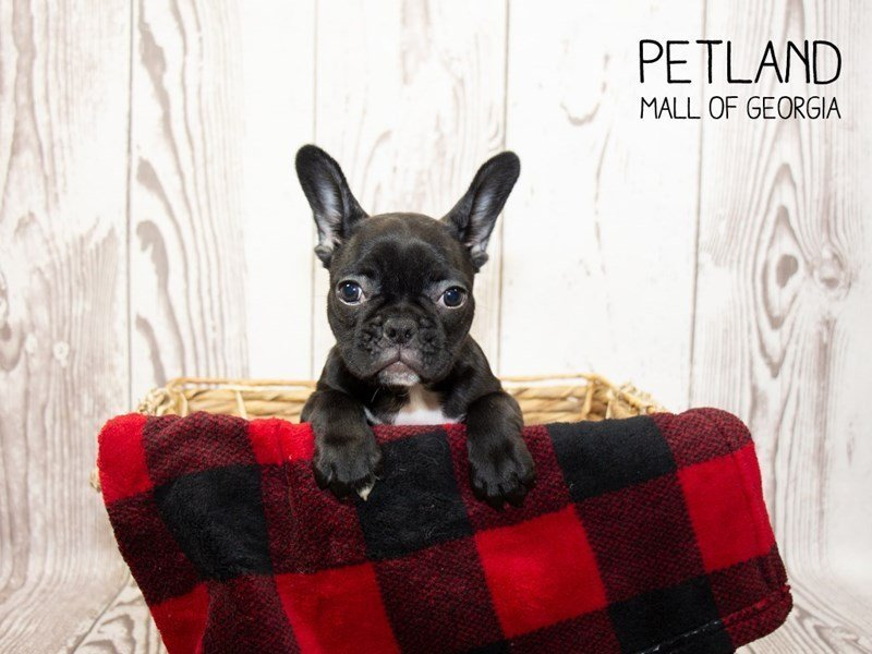 French Bulldog-Female-Brindle-2353832-Petland Mall of Georgia