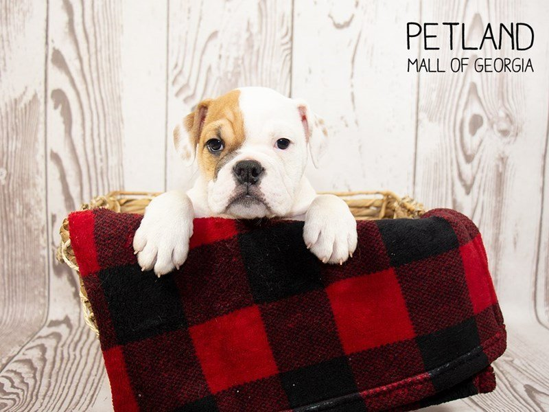 English Bulldog-Female-Brown White-2351065-Petland Mall of Georgia