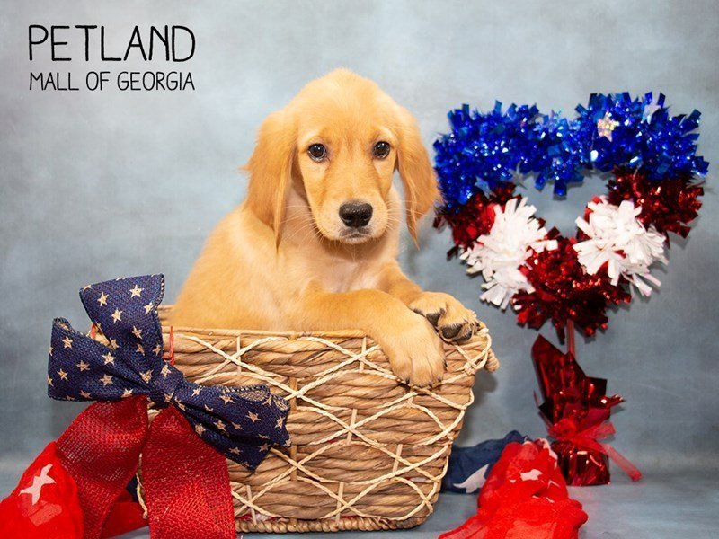Golden Retriever-Female-Golden-2362432-Petland Mall of Georgia