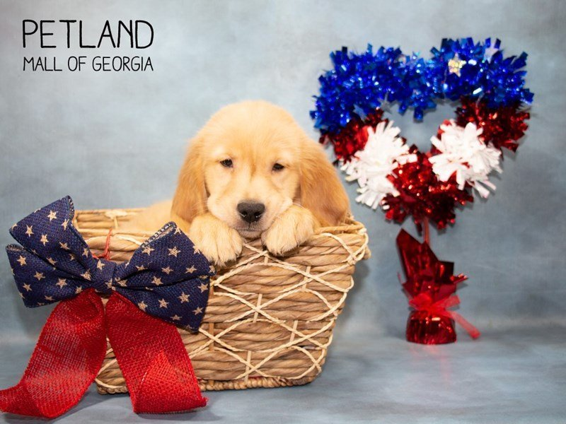 Golden Retriever-Male-Golden-2362429-Petland Mall of Georgia