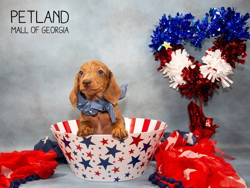 Dachshund-Male-Chocolate-2362427-Petland Mall of Georgia
