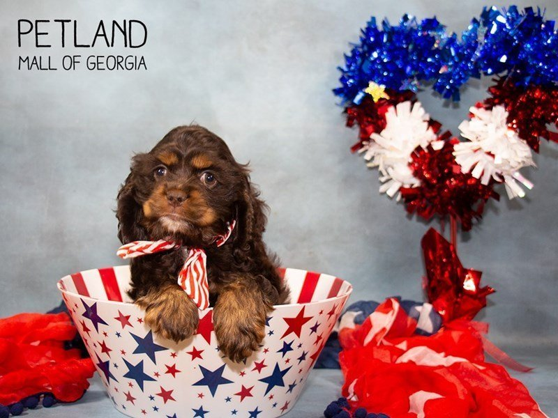 Cocker Spaniel-Female-Chocolate / Tan-2362420-Petland Mall of Georgia