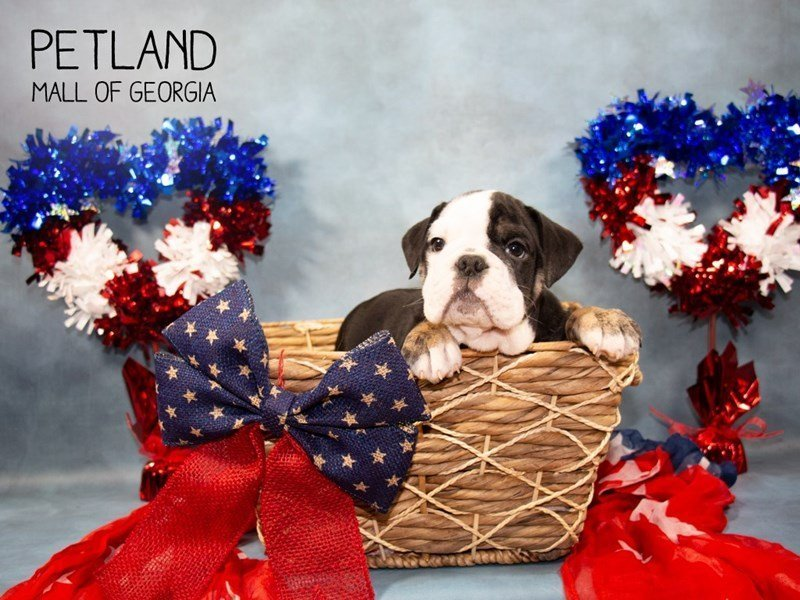 English Bulldog-Male-BLK & WH:BRDL MKGS-2362038-Petland Mall of Georgia