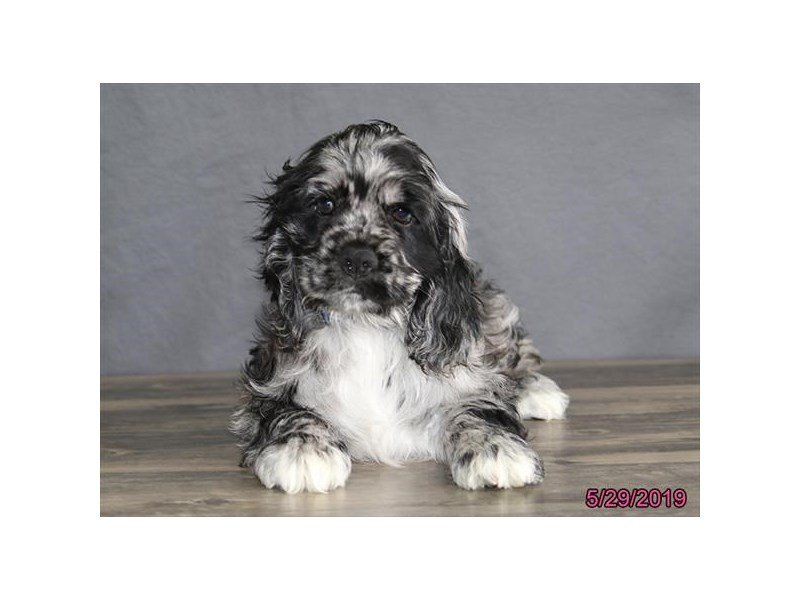Cocker Spaniel-Male-Blue Roan-2368605-Petland Mall of Georgia