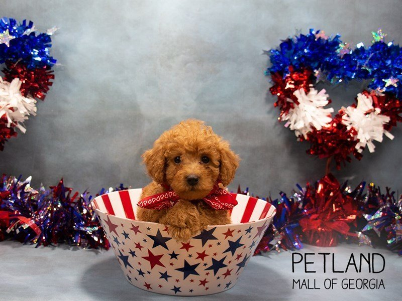 Miniature Poodle-Male-RED-2367230-Petland Mall of Georgia