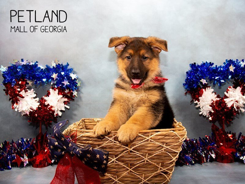German Shepherd Dog-Male-Black / Tan-2375655-Petland Mall of Georgia