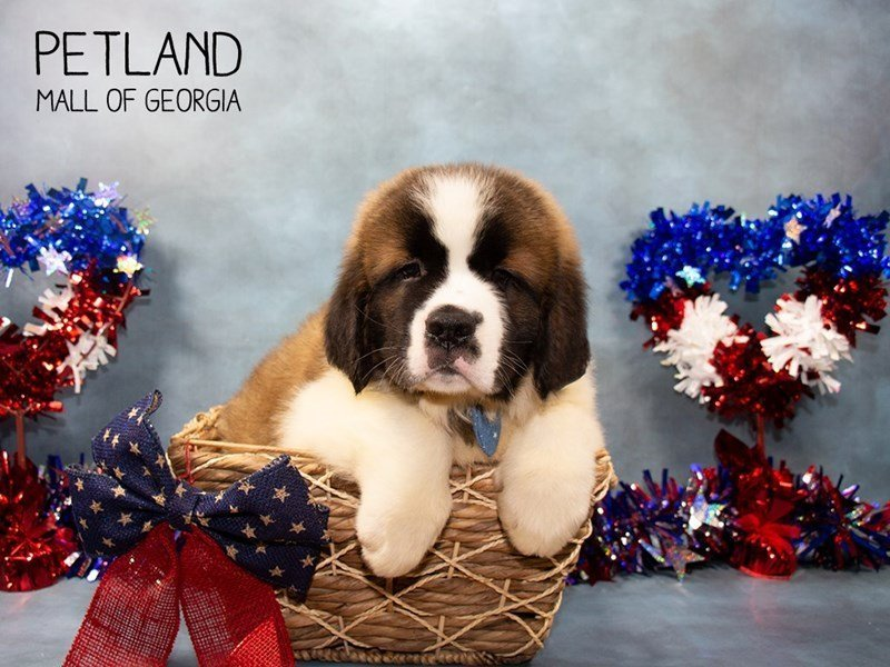 Saint Bernard-Male-Sable / White-2375580-Petland Mall of Georgia