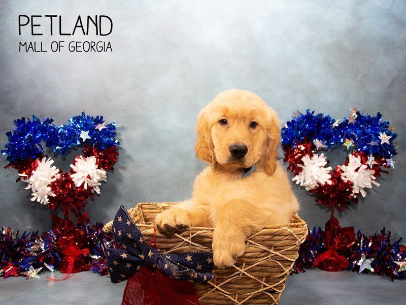 Golden Retriever-Male-Golden-2380340-Petland Mall of Georgia