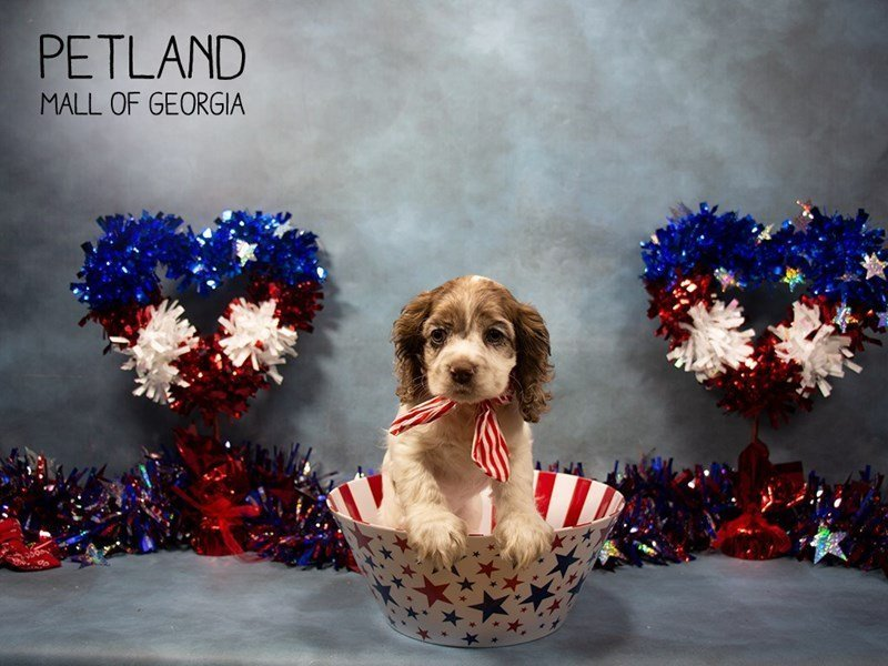 Cocker Spaniel-Female-CHOC MERLE-2378917-Petland Mall of Georgia