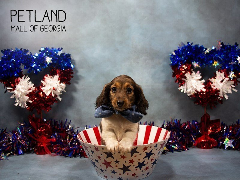Dachshund-Female-SABLE WHITE-2378588-Petland Mall of Georgia