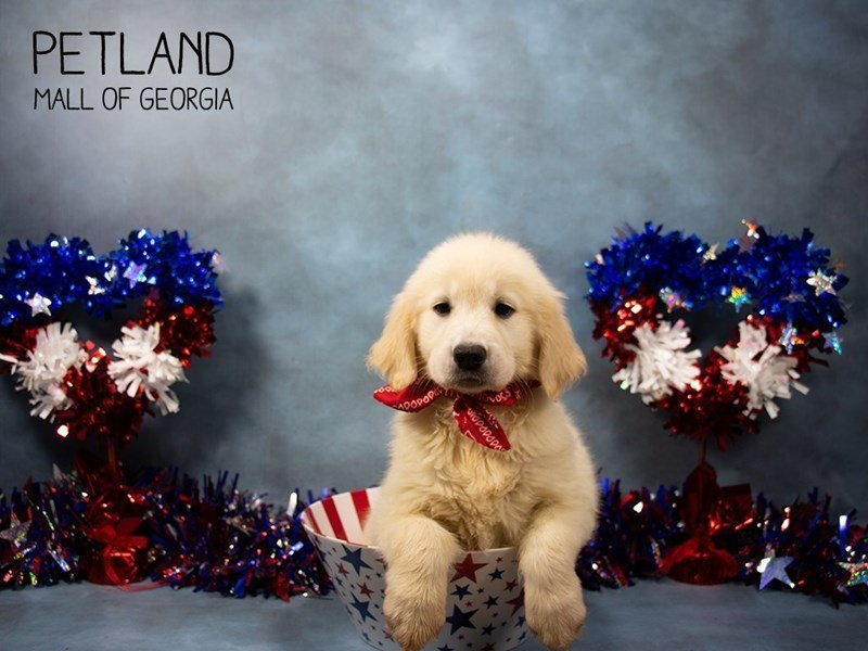 Golden Retriever-Female-Golden-2373319-Petland Mall of Georgia