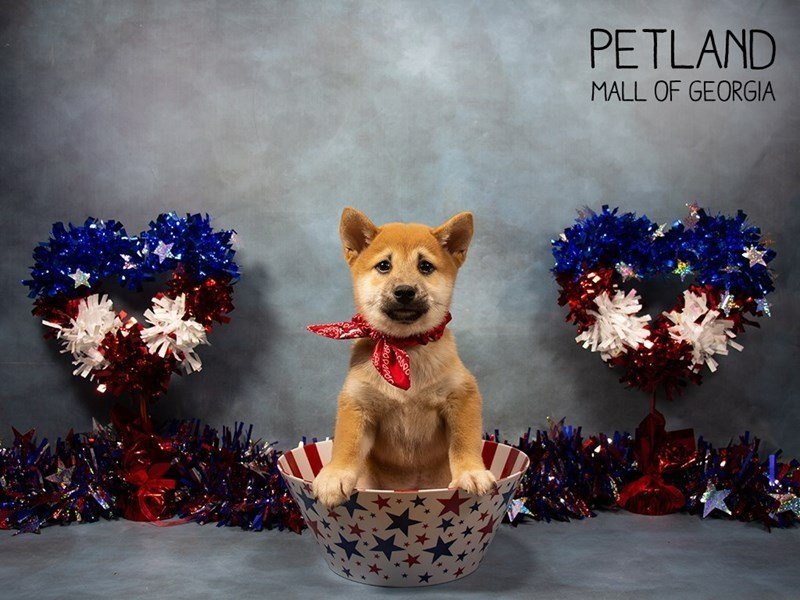 Shiba Inu-Male-Red-2378510-Petland Mall of Georgia