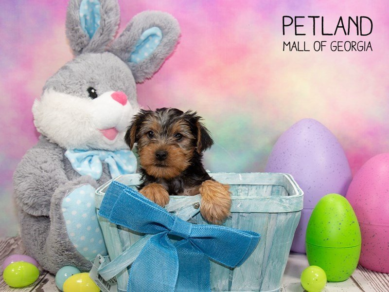 Yorkshire Terrier-Male-BLK TAN-2334797-Petland Mall of Georgia