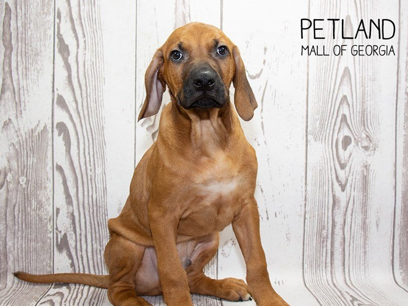Rhodesian Ridgeback-Male-Wheaten-2341889-Petland Mall of Georgia