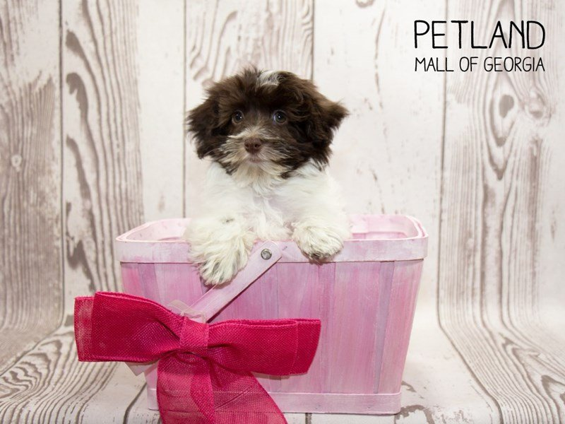 Havanese-Female-br & wh-2342654-Petland Mall of Georgia