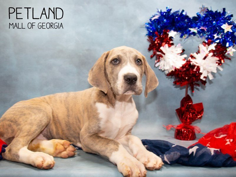 Great Dane-Female-Harlequin-2356965-Petland Mall of Georgia