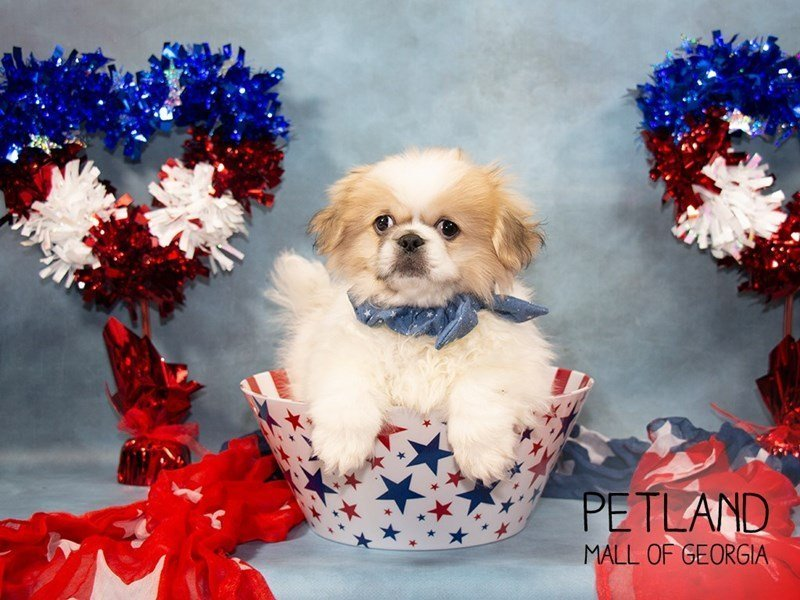 Pekingese-Male-White / Chocolate-2362431-Petland Mall of Georgia