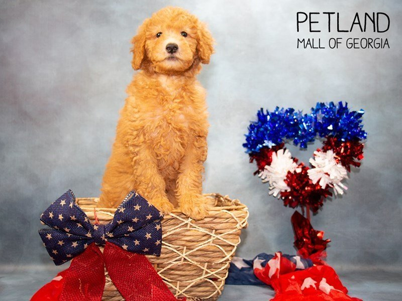 Miniature Goldendoodle 2nd Gen-Male-Red-2362425-Petland Mall of Georgia