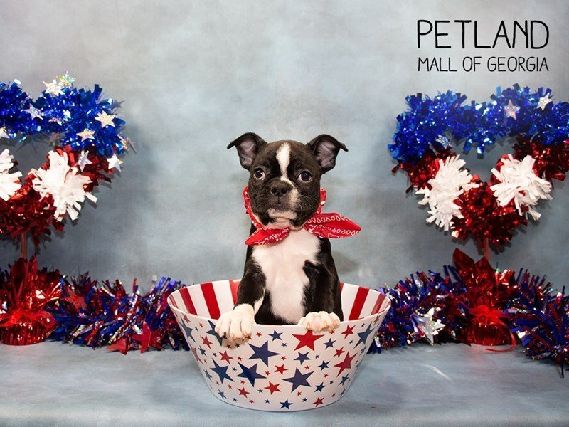 Boston Terrier-Female-Black / White-2375582-Petland Mall of Georgia