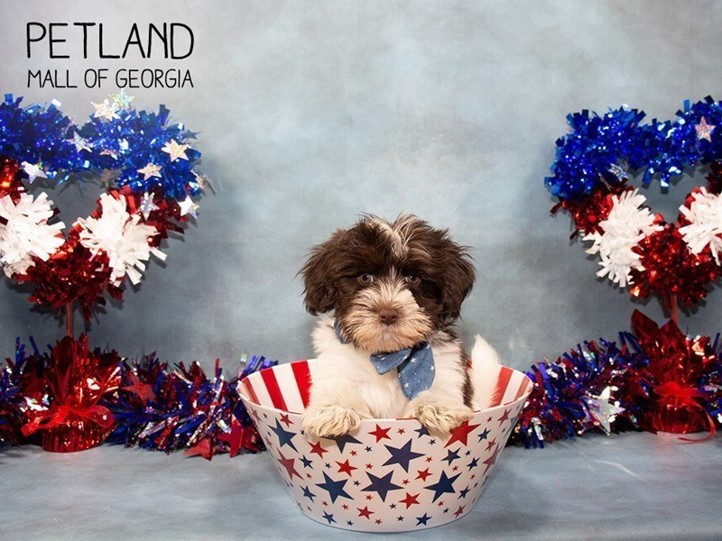 Havanese-Male-Chocolate / White-2375579-Petland Mall of Georgia
