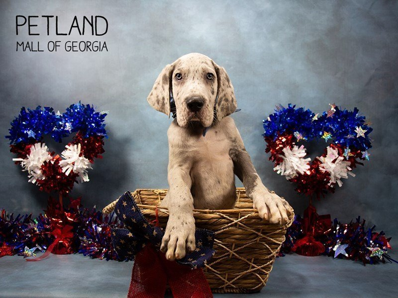 Great Dane-Male-Merlequin-2380341-Petland Mall of Georgia