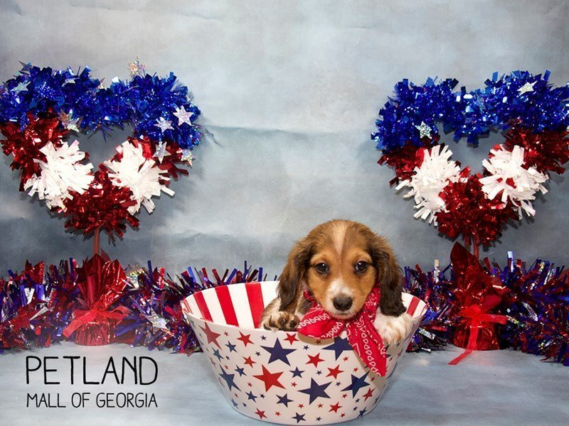 Dachshund-Male-RED WHITE-2384627-Petland Mall of Georgia