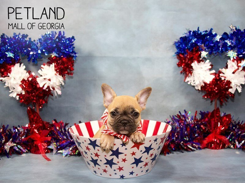 French Bulldog-Male-White-2393841-Petland Mall of Georgia